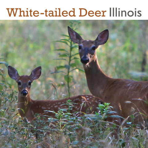 Text that reads White-tailed Deer Illinois over the outline of several deer.