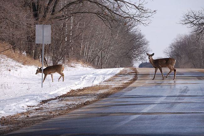 Two white-tailed deer crossing the road.