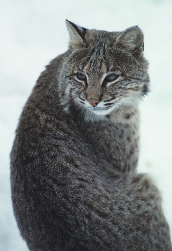 Bobcat sitting in the snow.