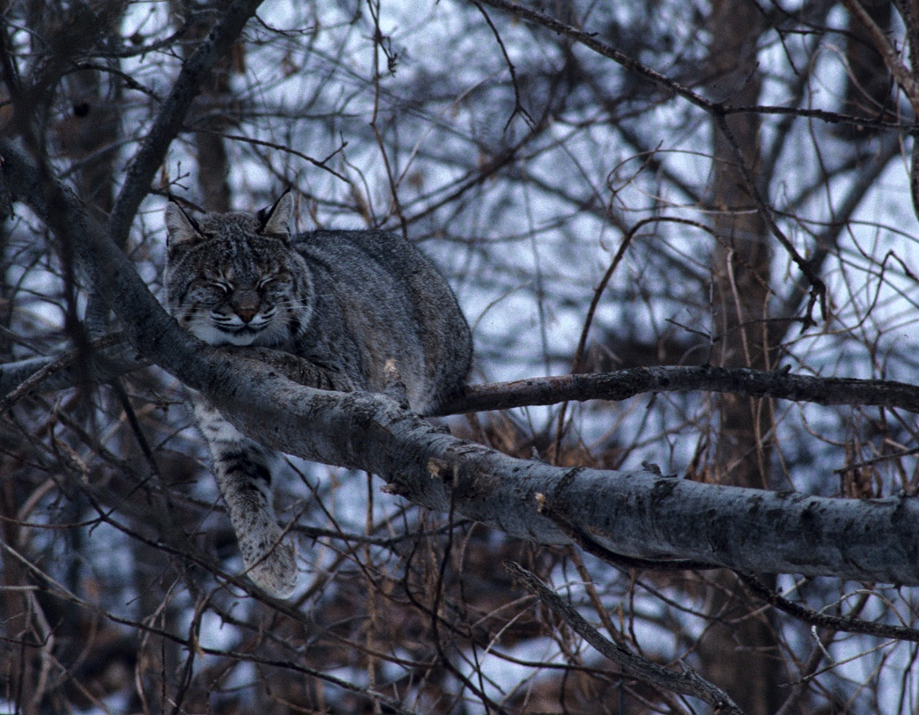 Bobcat in a tree.