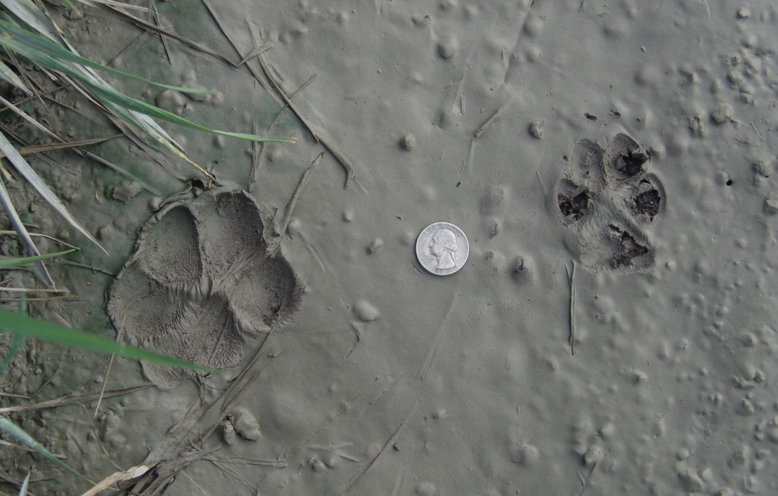 Dog track and coyote track in mud with a quarter to illustrate size difference.