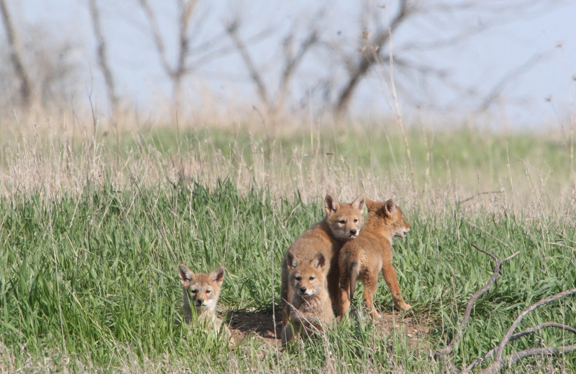 Four coyote pups explore outside their den.