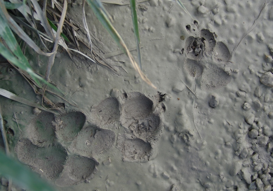 The two tracks on the left are dog tracks. The smaller, more oval shape track on the right is from a coyote.