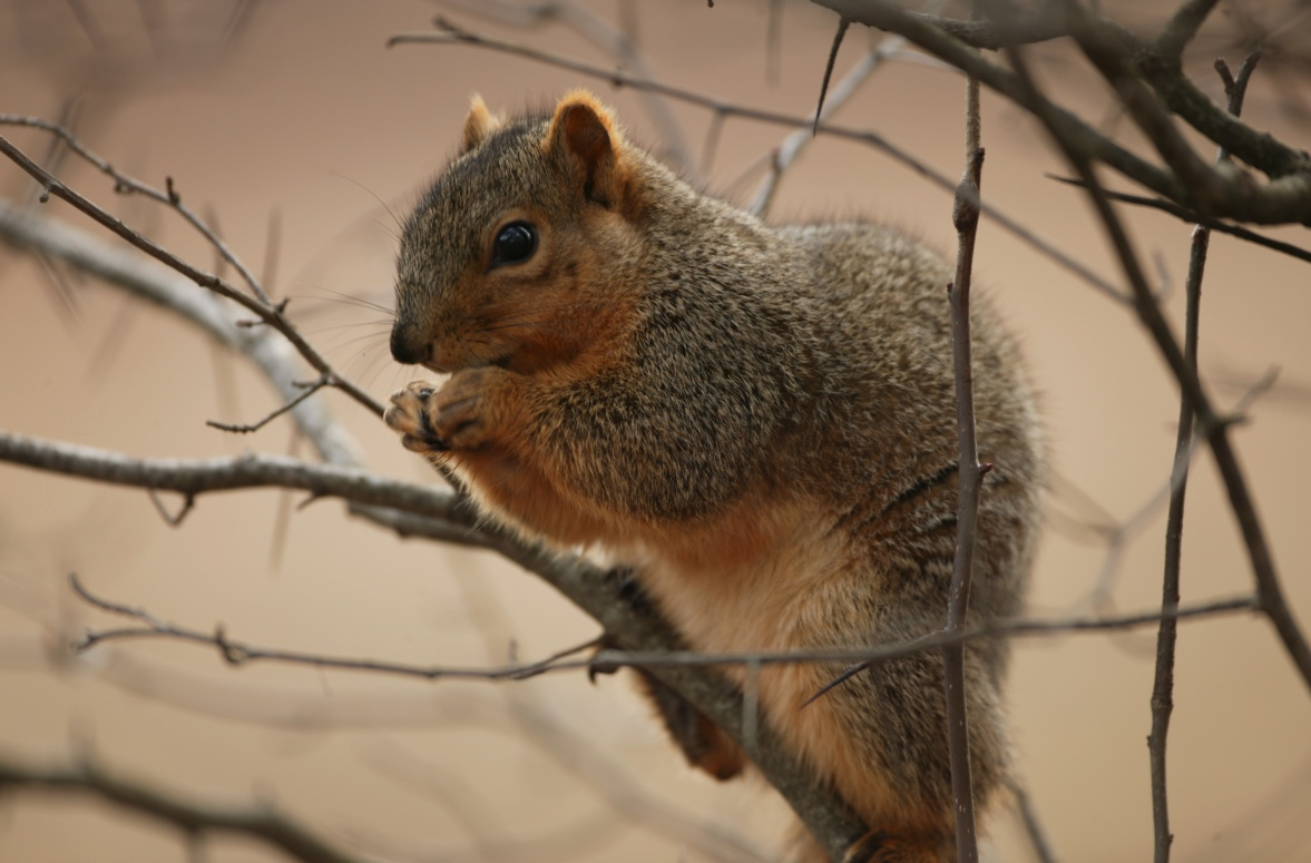 Fox squirrel sitting in a tree. Fox squirrels are larger than the other tree squirrels with large, bushy tails, grizzled gray and brown fur and rusty colored fur on their underside.