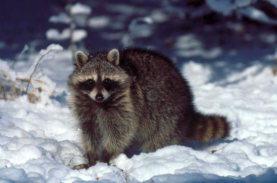 A raccoon standing in the snow.
