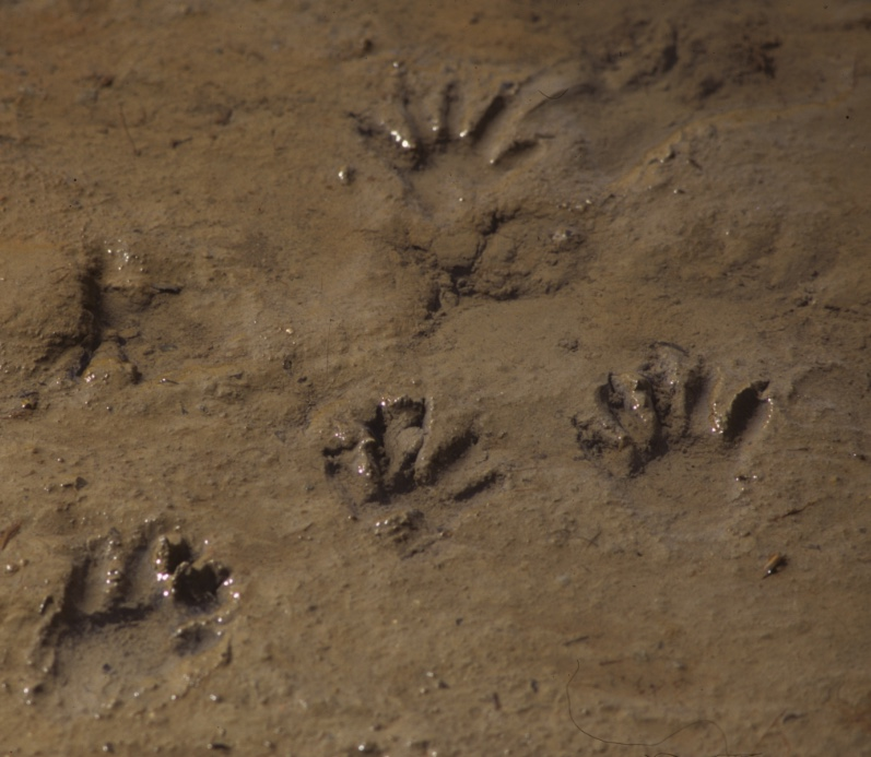 Raccoon tracks in mud.