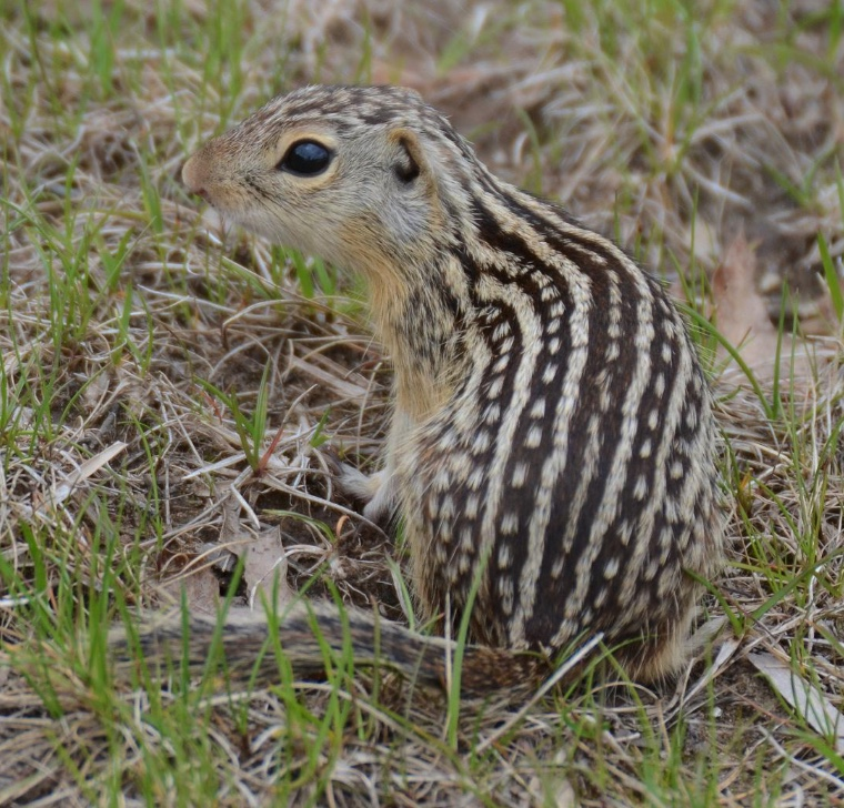Thirteen-lined ground squirrel sitting in the grass.