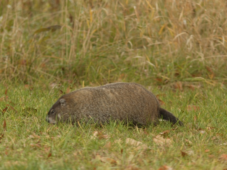 Woodchuck foraging in the grass for food.