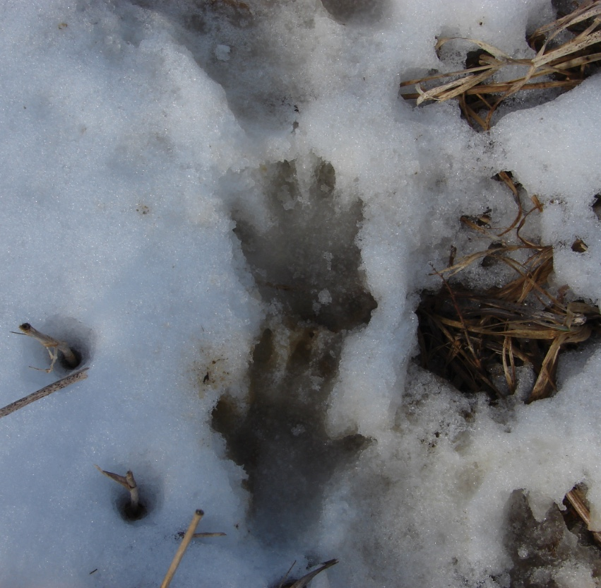 Notice the woodchuck track on top has four toes (front paw) and the track on the bottom has five toes (hind paw).