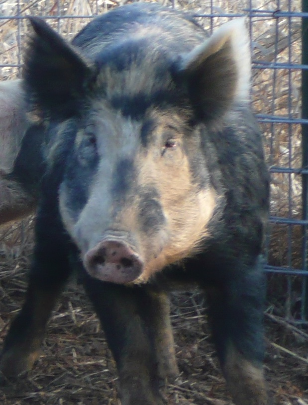 Close up of a feral swine.