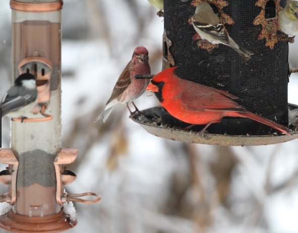 Cardinal, house finch, goldfinch and chickadee at bird feeders.