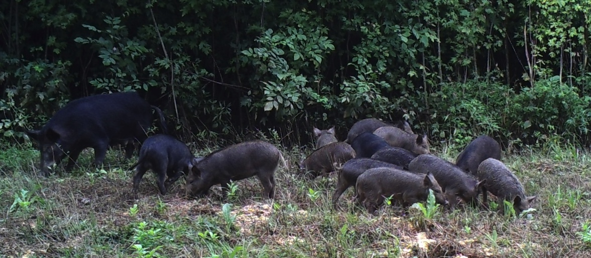 Feral swine with her young at a wooded edge.