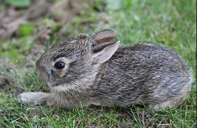 Baby rabbit that has just left the nest.