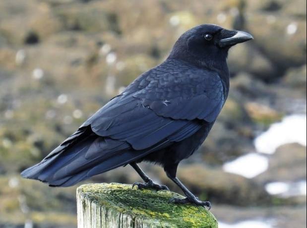 Adult American crow