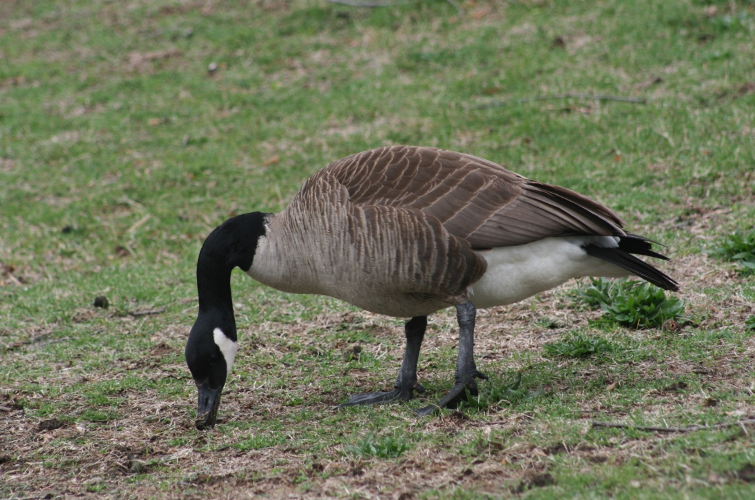 Canada geese can be identified by the black head and neck, white check patch, and gray-brown back. Males and females look similar.
