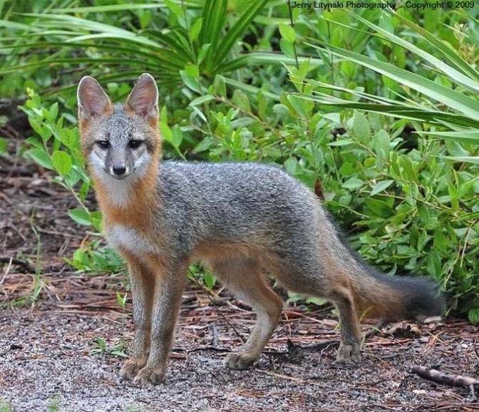 Gray fox on a path.