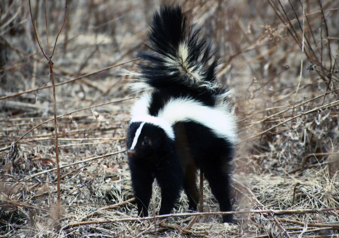 A striped skunk with its tail raised to spray its musk.