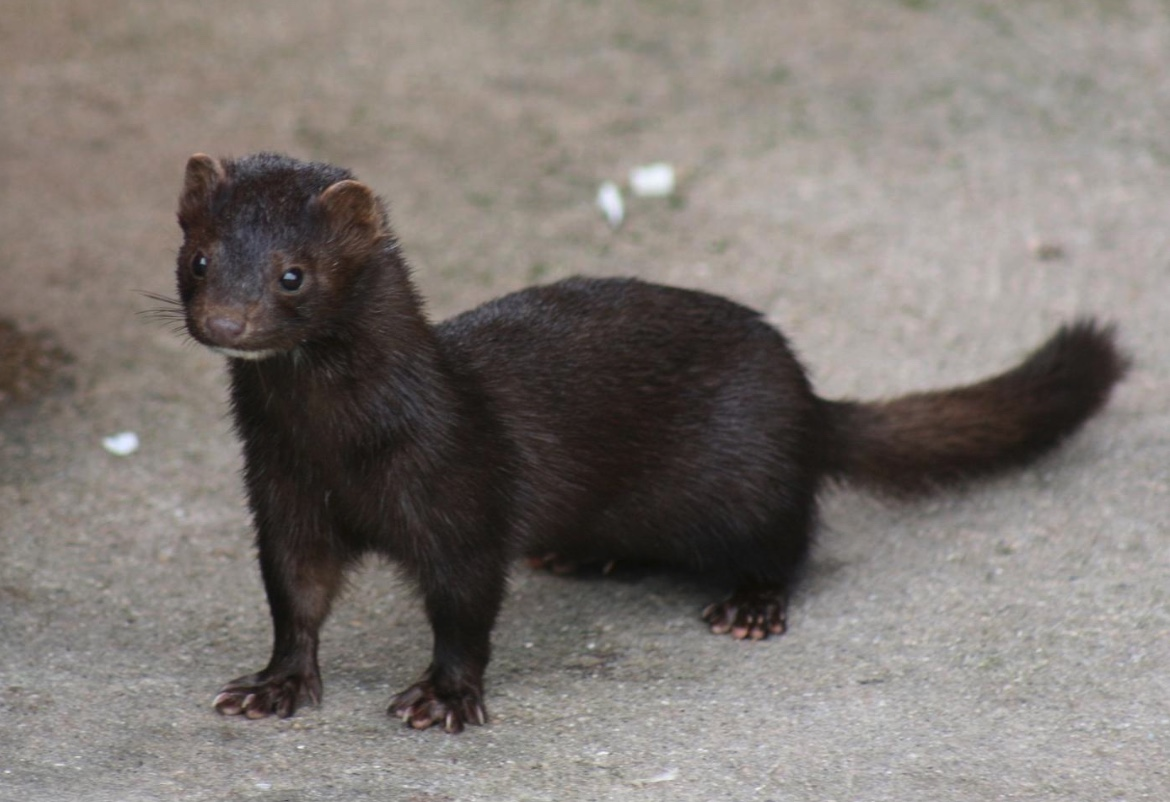 American mink standing on concrete.