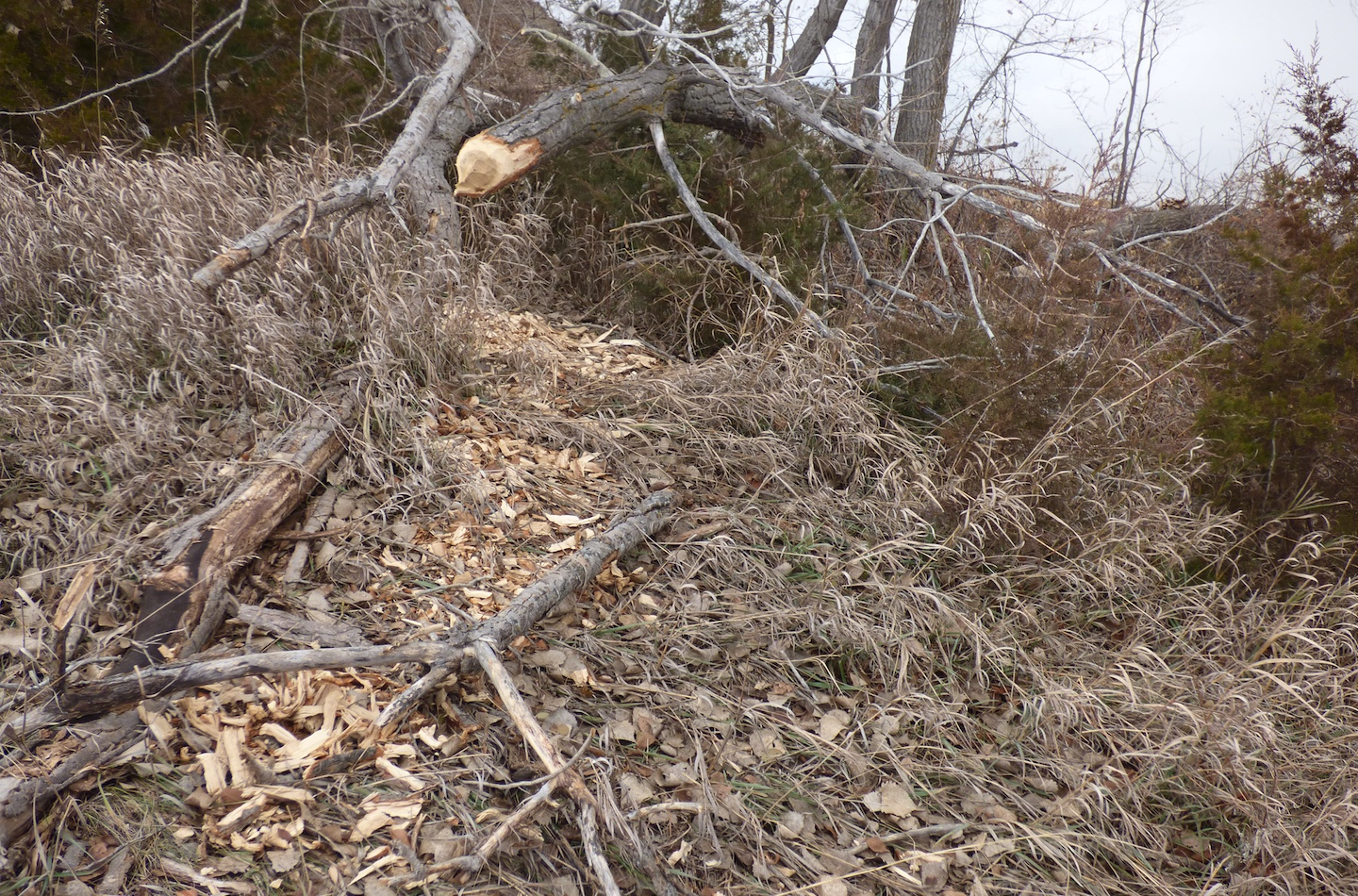 Beavers eat wood and also use tree limbs to build their dams.