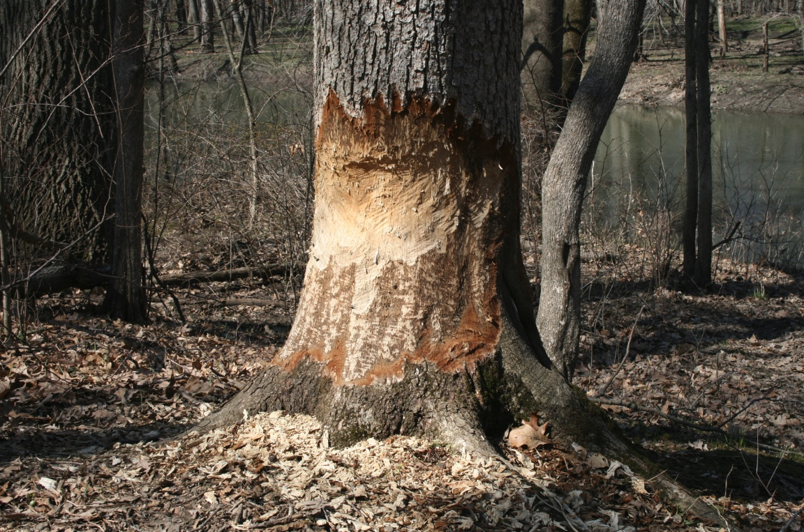 Close up of a tree with beaver damage. Teeth marks are clearly visible.