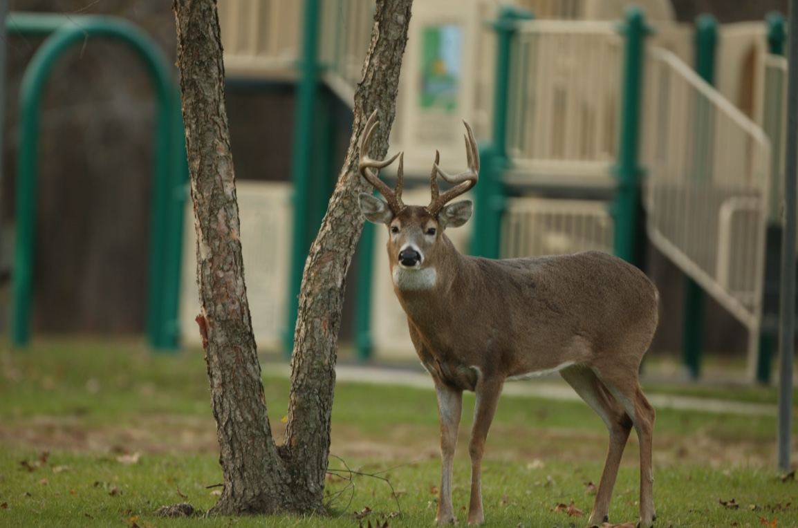 White-tailed deer buck on a playground.