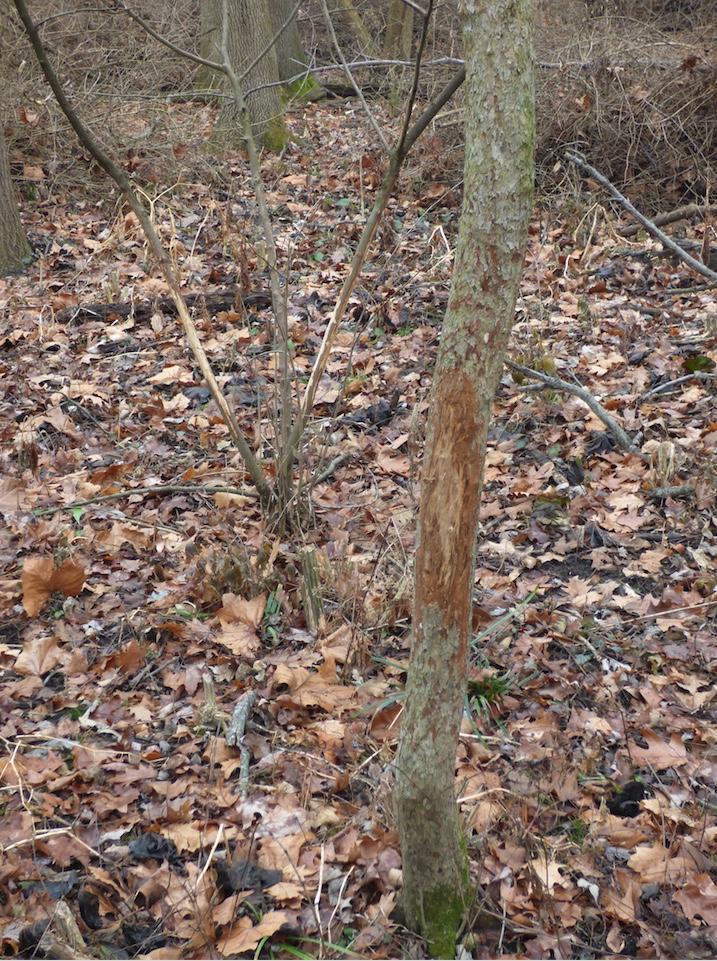 An example of a buck rub.