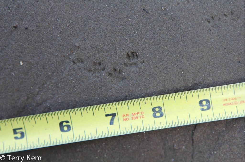 Deer mouse tracks next to a tape measure.