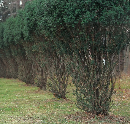 A deer browse line in a hedge of yew bushes. The damage stops when deer can no longer reach the branches. Deer will stand on their hind legs to reach green branches in the winter, so damage can reach five to six feet high.