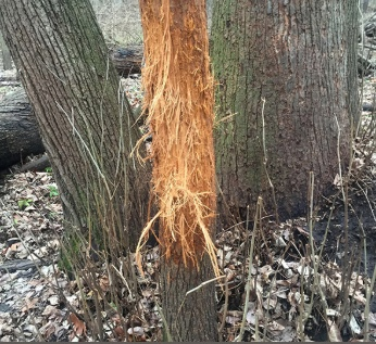 Deer have used this tree as a rub so many times the bark is totally stripped off and the wood underneath is shredded.