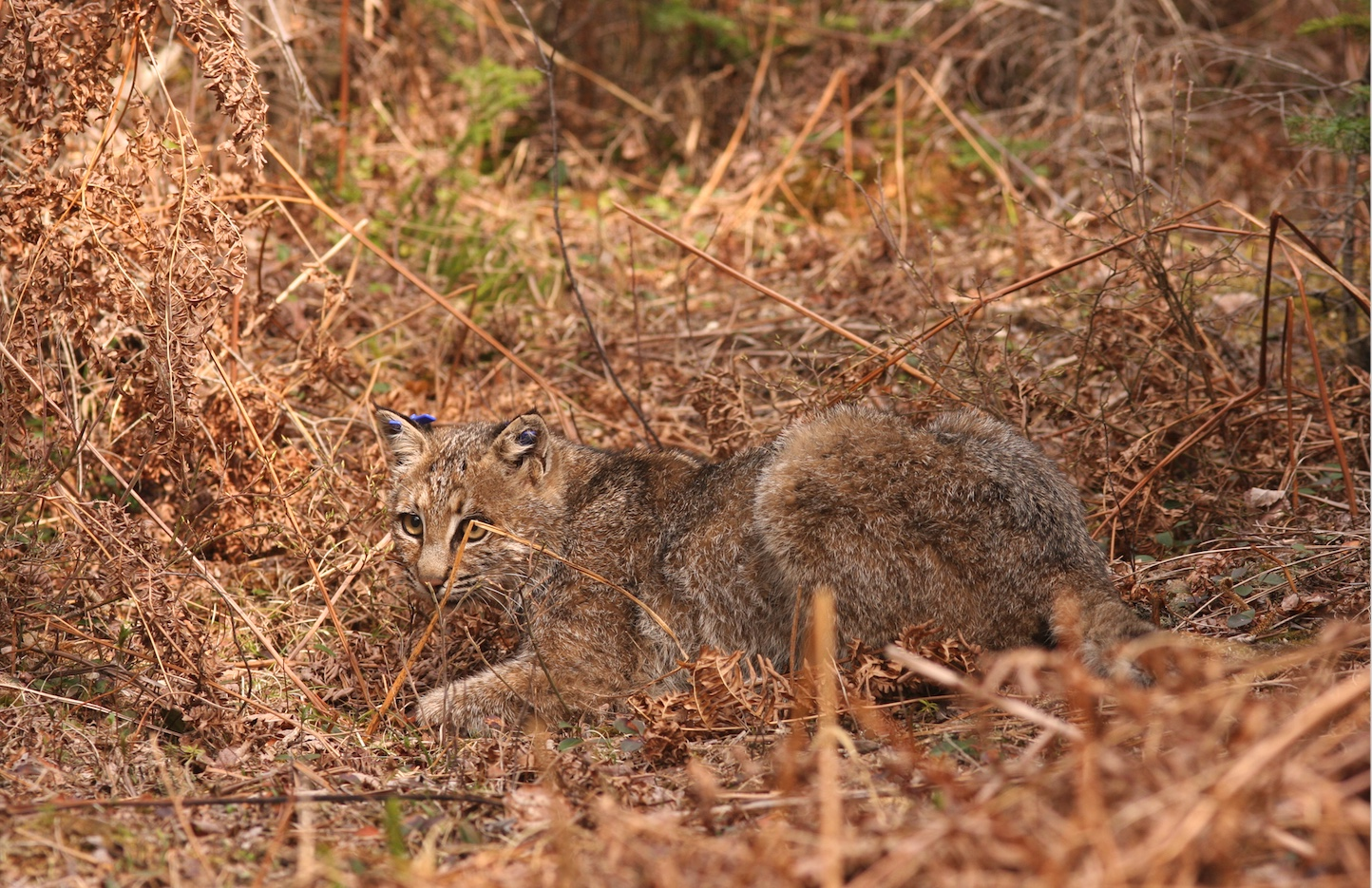 This bobcat has ear tags which helps researchers identify it.