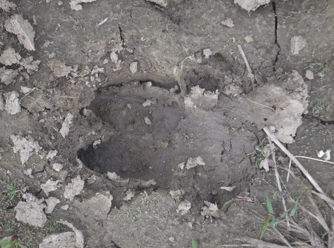 Feral swine track in the soft soil.