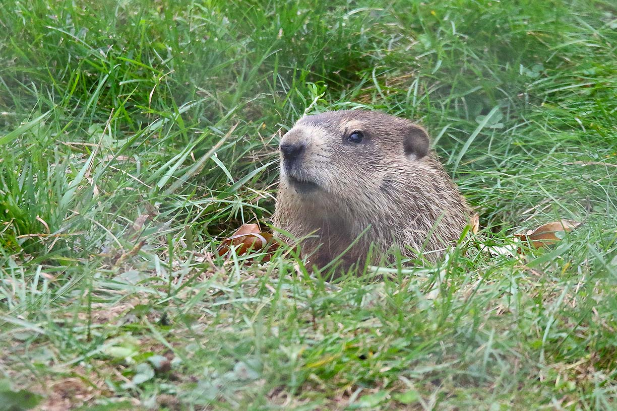 Woodchuck coming out of its burrow.