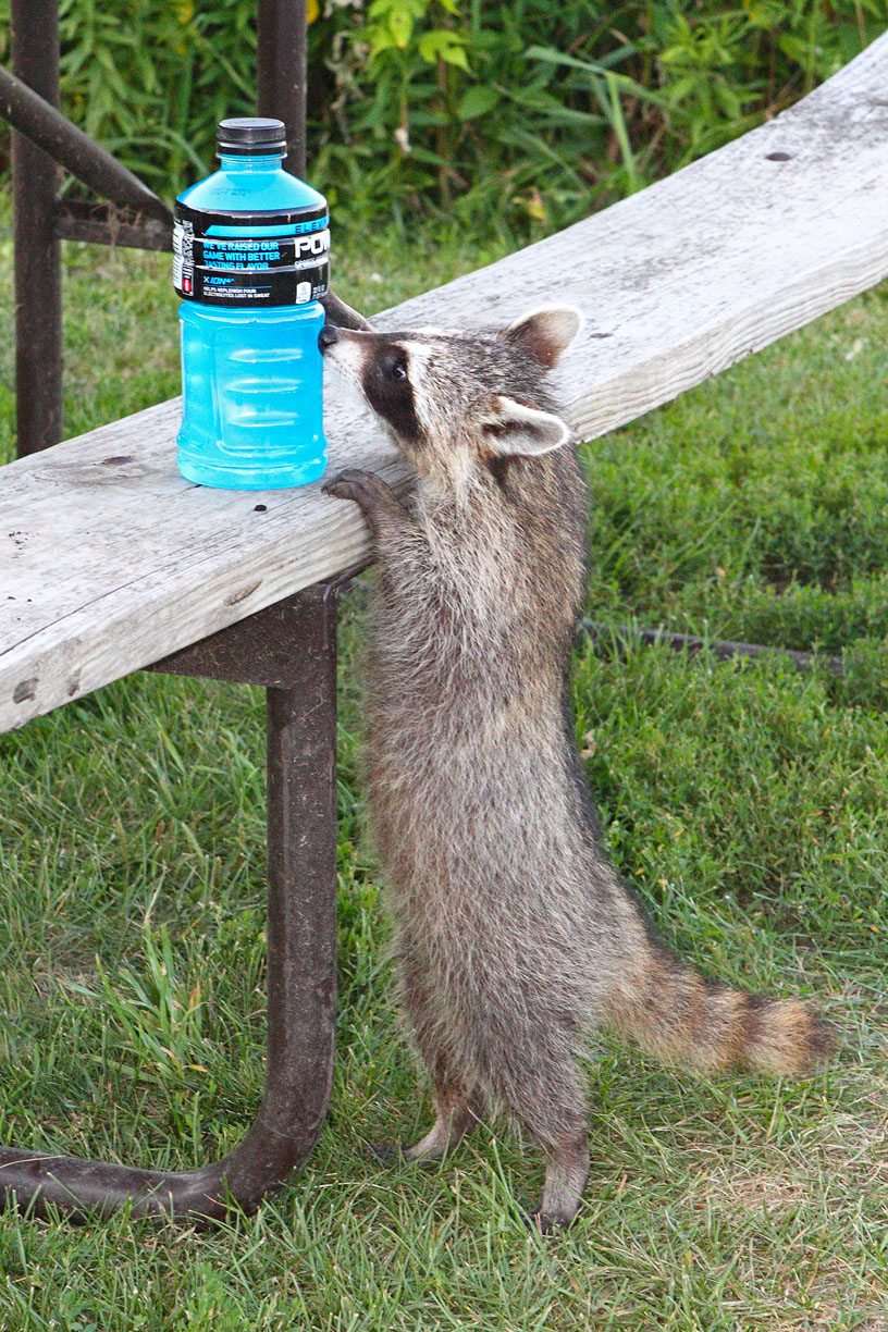 Young raccoon investigating a sports drink on a bench.