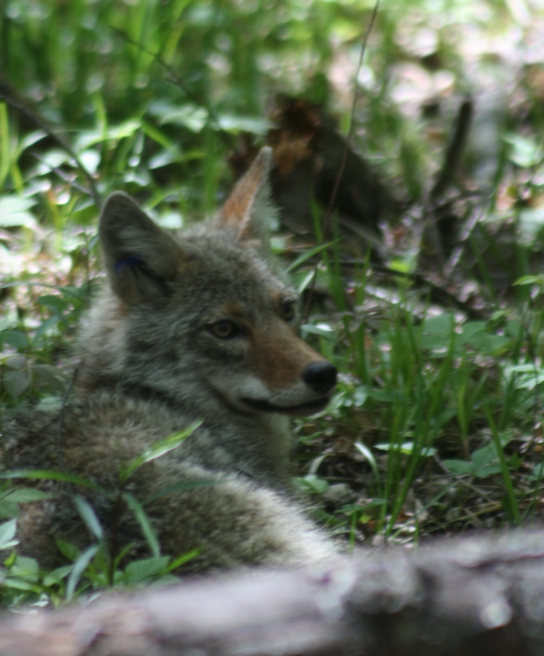 Coyote resting in the shade.