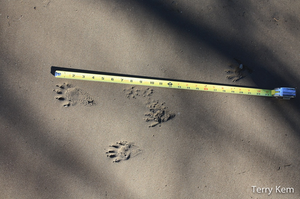 American mink tracks next to tape measure.