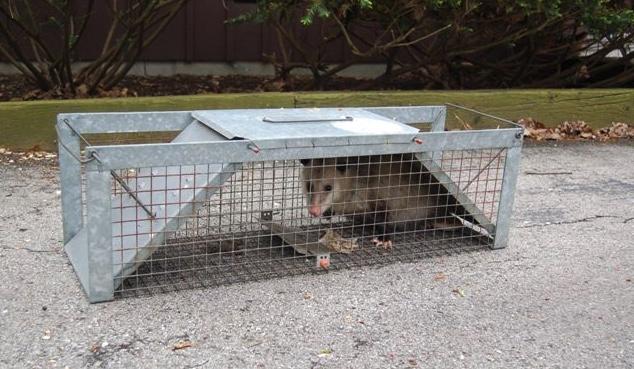 Virginia Opossum in a live-trap.