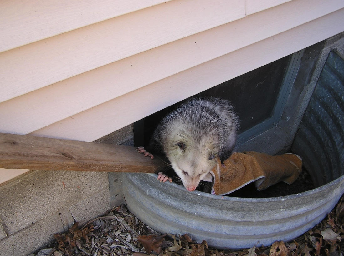 Placing a board with a rough surface into the window well will allow a trapped animal, like this opossum, to crawl out.