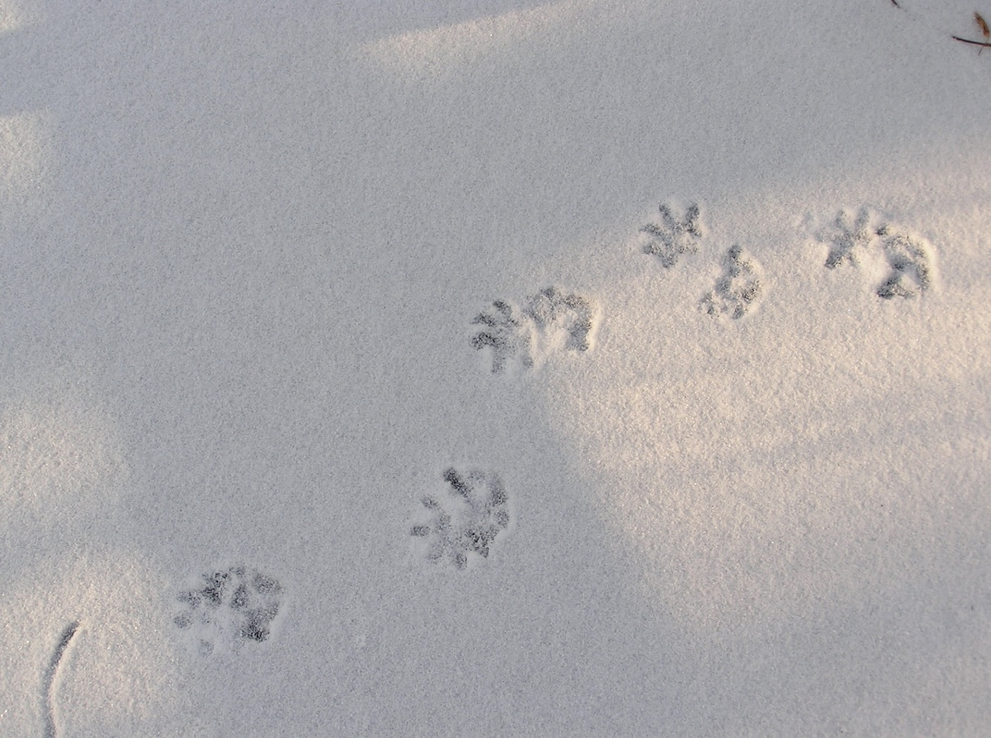 Virginia opossum tracks in snow. Note how the hind tracks overlap the front tracks.