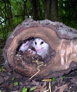Two young opossums in a log.