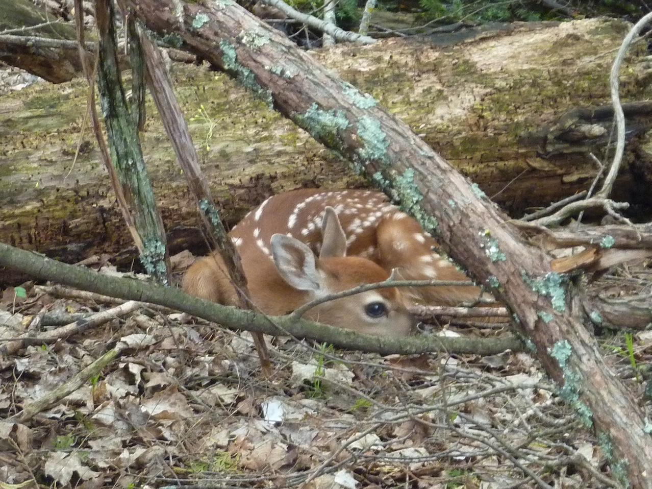 Young fawn laying in the woods.