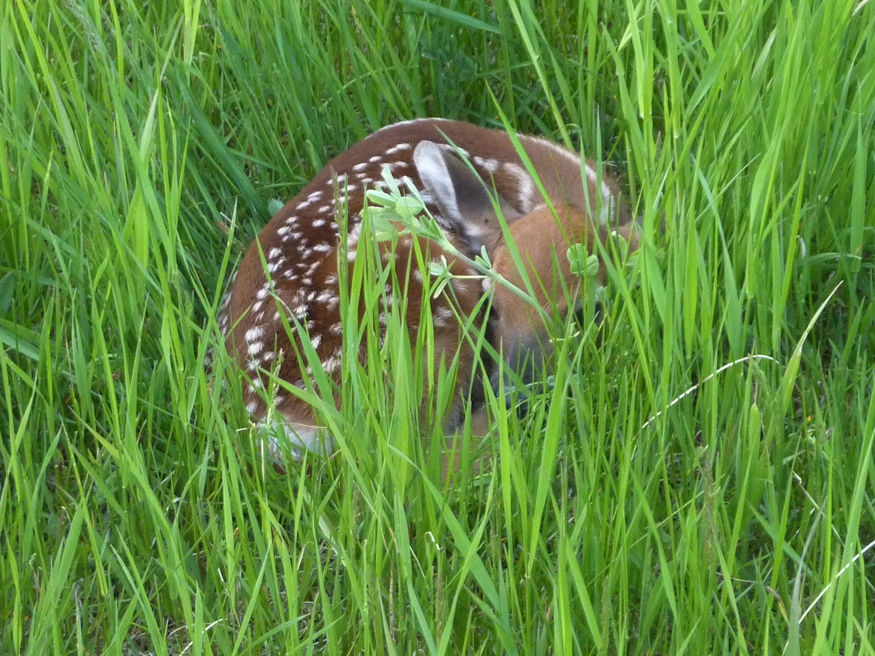 White-tailed deer fawn resting in the grass.