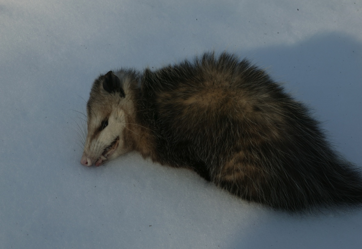 Opossum playing dead on the snow.