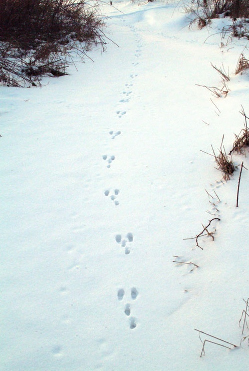 Cottontail rabbit tracks in the snow. Note the back paws land in front of the front paws.