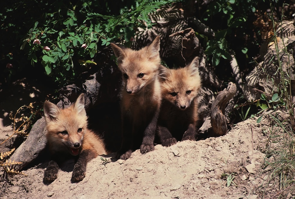 Three red fox kits sitting at the den entrance.