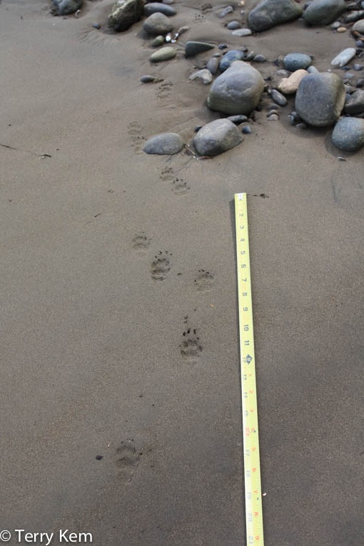 Striped skunk tracks in sand. Note the claw marks of the front feet register a distance from the paw pad.