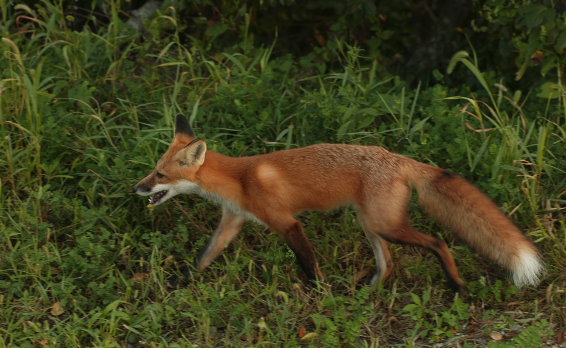 Red fox walking through grass.
