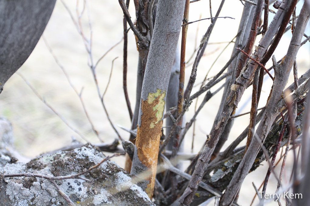 Voles often eat the bark from shrubs during the winter when food becomes harder to find under snow cover.