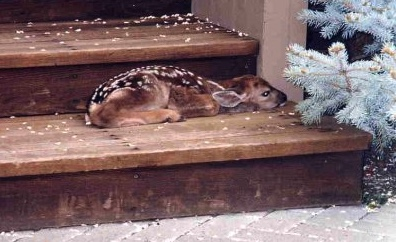 This fawn decided to rest on a porch step.