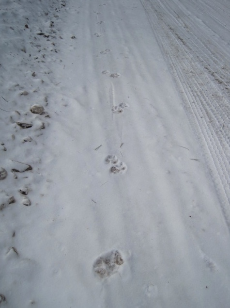 Wolf tracks in the snow. Note how the hind feet register over the tracks of the front feet.