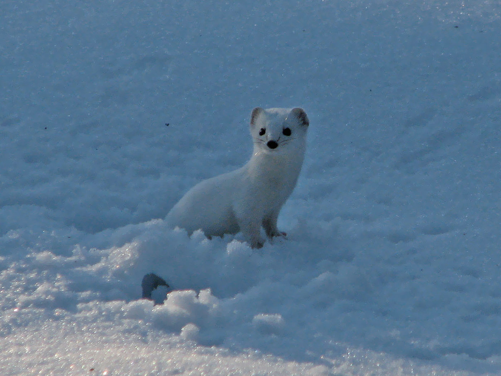 Least weasel in it's white winter coat.